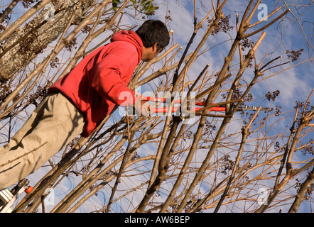 Hispanic Man (20-25) Prunes Tree with Hedge Clippers - Stock Photo