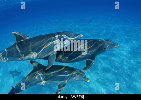 These Atlantic Bottlenose Dolphin, Tursiops truncatus, were photographed on the Bahamas Bank. - Stock Photo