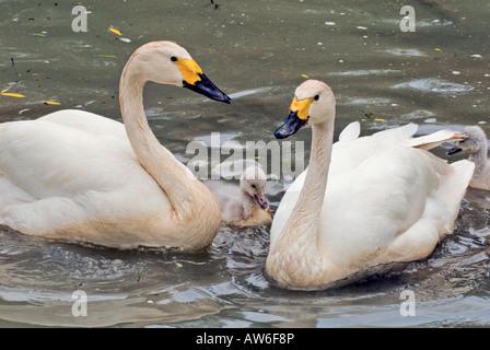 Family Bewicks Swan Tundra Cygnus columbianus - Stock Photo