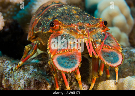 Regal slipper lobsters, Arctides regalis, are also called ...