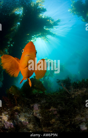 Garibaldi, Hypsypops rubicundus, in a forest of giant kelp, Macrocystis pyrifera, Catalina Island, California, USA. Stock Photo