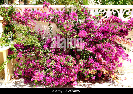 bougainvillea  photographed in Spain - Stock Photo
