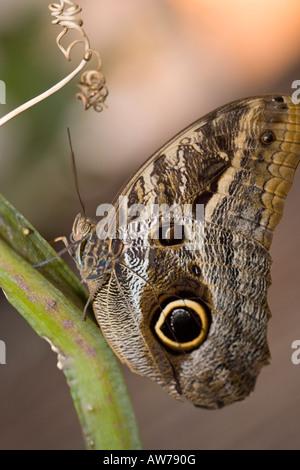 Owl butterfly, Ögon fjäril (Caligo eurilochus) - Stock Photo