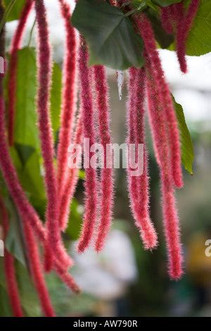 Love-lies-bleeding, Rävsvans (Amaranthus caudatus) - Stock Photo