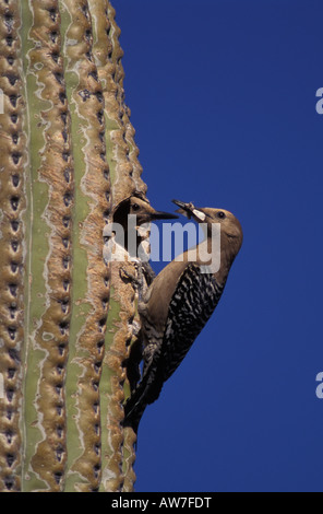 Gila Woodpecker male and female, Melanerpes uropygialis, at nest cavity in saguaro cactus. - Stock Photo