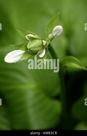 Single Hosta Flower Sieboldiana Elegans white and floral buds bud foliage plants plant blooming detail close-up - Stock Photo