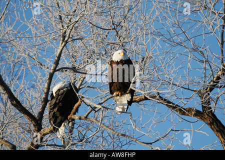 Two Bald Eagles Haliaeetus leucocephalus Close up in a Perched Tree - Stock Photo
