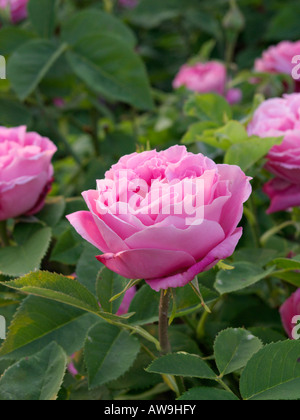 Remontant rose (Rosa Mrs. John Laing) - Stock Photo
