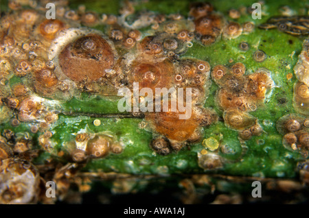 Californian red scale insects Aonidiella aurantii on lemon wood Sicily - Stock Photo