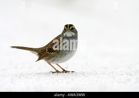 White throated Sparrow in Snow - Stock Photo