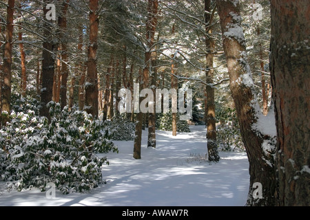 A wintry view through a natural path in the forest loosely defined by pine trees. - Stock Photo