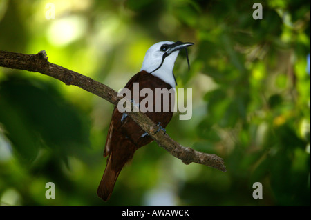 Three-wattled Bellbird, Procnias tricarunculatus, in Volcan Baru national park, Chiriqui province, Republic of Panama. - Stock Photo