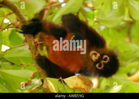 Spider Monkey Ateles geoffroyi (Black-handed), Corcovado National Park, Costa Rica - Stock Photo