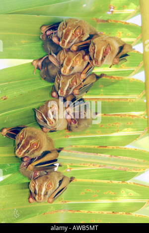 Brown Tent-making Bat, Uroderma magnirostrum, Corcovado National Park, Costa Rica - Stock Photo