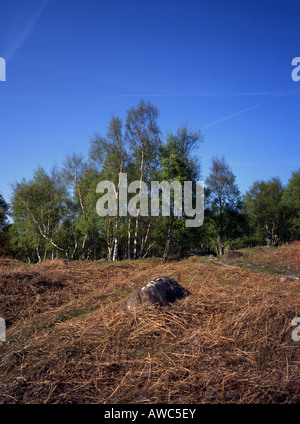Silver Birch Trees Betula pendula on Millstone Egde, Grindleford Derbyshire - Stock Photo