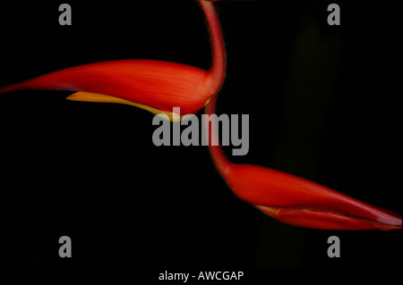 Colorful Heliconia flower in the cloudforest in Volcan Baru national park, Chiriqui province, Republic of Panama. - Stock Photo