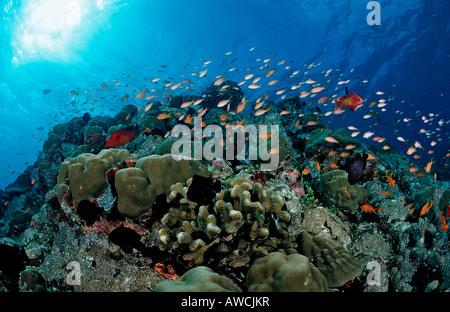 Lyretail anthias over Coral Reef Pseudanthias squamipinnis Maldives Indian Ocean Meemu Atoll - Stock Photo