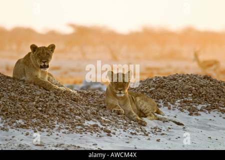 Lion cups (Panthera leo) lying on a small hill are watching for animals in the Nxai Pan, Makgadikgadi Pans National - Stock Photo