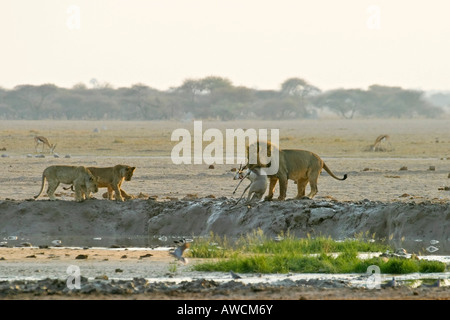Hunting Lion (Panthera leo) with with cups and a killed springbok (Antidorcas marsupialis), Nxai Pan, Makgadikgadi - Stock Photo