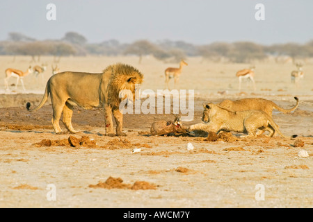 Lion (Panthera leo) with cubs and a captured springbok (Antidorcas marsupialis), Nxai Pan, Makgadikgadi Pans National - Stock Photo