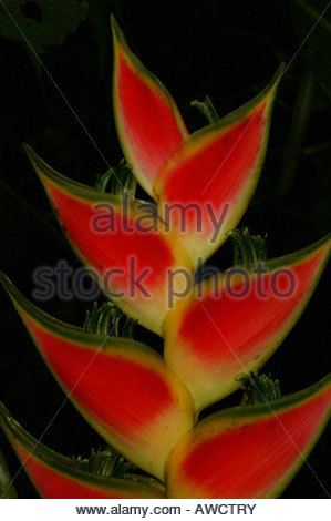 Heliconia flower in the rainforest near Cana in the Darien national park, Darien province, Republic of Panama, - Stock Photo