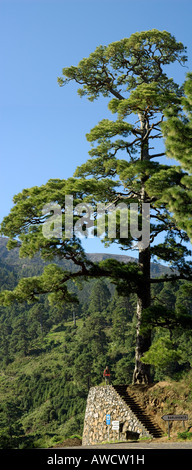 Spain Canary Islands La Palma Canary Pine Tree and Tourist between Barlovento and Garafia - Stock Photo
