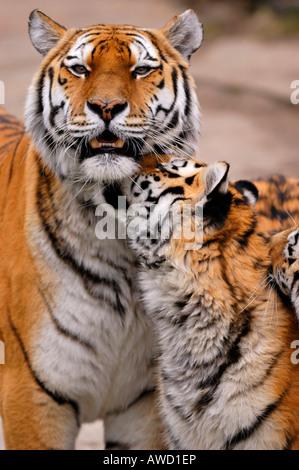 Siberian Tiger (Panthera tigris altaica), tigress with cub - Stock Photo