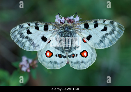 Mountain Apollo (Parnassius apollo) - Stock Photo