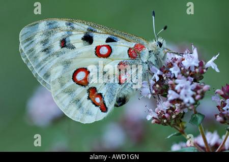 Mountain Apollo (Parnassius apollo) - Stock Photo