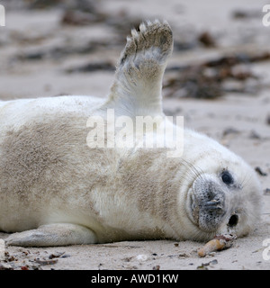 Grey Seal (Halichoerus grypus) pup, a few days old - Stock Photo