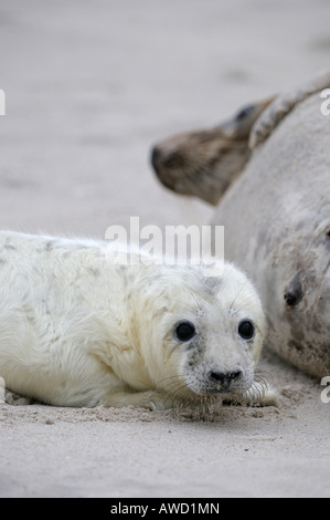 Grey Seal (Halichoerus grypus), female with young - Stock Photo