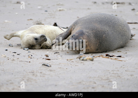 Grey Seal (Halichoerus grypus), female with young playing - Stock Photo