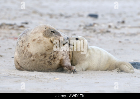 Grey Seal (Halichoerus grypus), female with young cuddling - Stock Photo