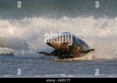 Grey Seal (Halichoerus grypus), male, turf war - Stock Photo