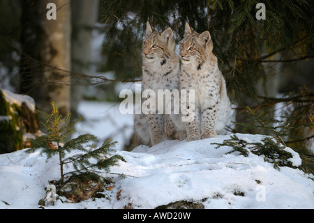 Eurasian Lynx (Lynx lynx) two cubs in the snow, Bavarian Forest, Bavaria, Germany, Europe - Stock Photo