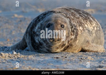 Grey Seal bull (Halichoerus grypus), Helgoland Island, Schleswig-Holstein, Germany, Europe - Stock Photo
