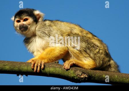 Common Squirrel Monkey (Saimiri sciureus), Nuremberg Zoo, Nuremberg, Bavaria, Germany, Europe - Stock Photo