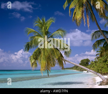 Palm tree on beach hanging over water, Maldives, Indian Ocean - Stock Photo