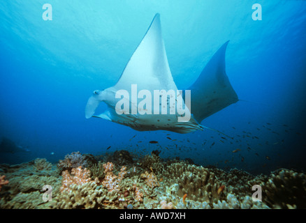Giant Manta Ray (Manta birostris) and coral, underwater photograph, Indian Ocean - Stock Photo