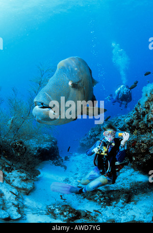 Humphead Wrasse (Cheilinus undulatus) and scuba diver, underwater photograph, Indian Ocean - Stock Photo
