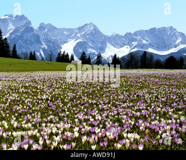 Crocus meadow near Gerold in spring, Karwendel mountain range, Upper Bavaria, Germany - Stock Photo