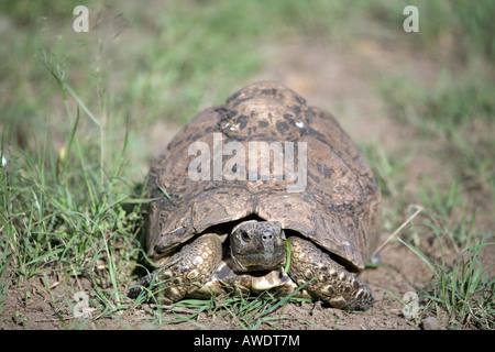 Leopard Tortoise (Stigmochelys pardalis) formerly classed as (geochelone pardalis) - Stock Photo
