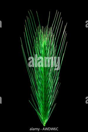 Grass Seed Head - Stock Photo