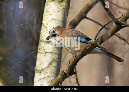 Eurasian Jay Garrulus glandarius perched in silver birch tree looking for food in Norfolk, UK in February. - Stock Photo
