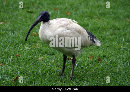 Australian White Ibis  [Royal Botanic Gardens, Farm Cove, Circular Quay, Sydney Harbour, Sydney, NSW, Australia] - Stock Photo