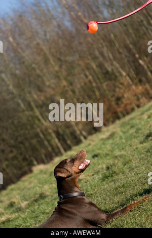 dobermann playing with ball - Stock Photo
