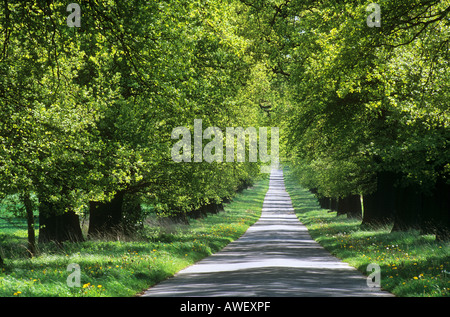 avenue - oaks - Stock Photo