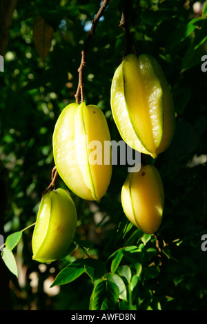 Woman harvesting starfruit (Averrhoa carambola) at an Ursuline convent and orphanage in Georgetown, Guyana, South - Stock Photo
