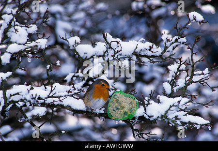 European Robin (Erithacus rubecula), winter feeding - Stock Photo