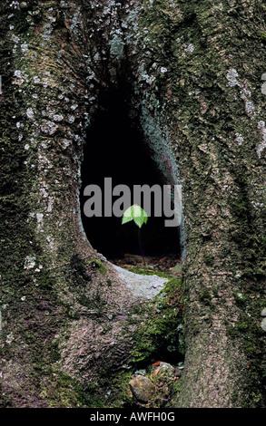 European Beech or Common Beech (Fagus sylvatica) sapling growing in a tree hole - Stock Photo